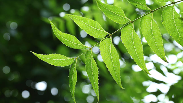 Medical Benefit from neem