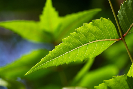 Neem Benefits,Benefits of Neem